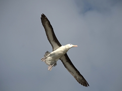 Underbelly view of a flying albatross