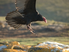 Turkey vulture terrorizing rockhopper penguins trying to make their way back to the colony