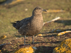Falkland skua observing the returning rockhoppers to see if any of them were injured at sea