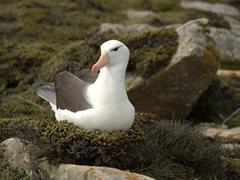 Resting albatross