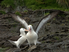 It looks like this albatross pair is having an argument
