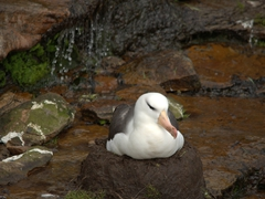 Albatross nesting by the secret stream at the rookery