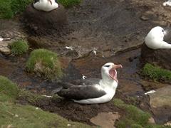 Yawning albatross