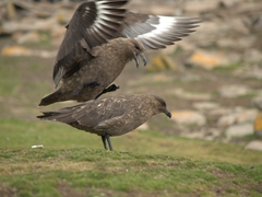 Falkland skua on top of its mate
