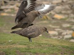 Falkland skua on top of its mate