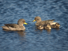 Yellow-billed pintail duck family