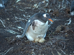A gentoo penguin protecting both of its eggs