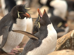 Rockhopper making a loud braying call - part of its mating ritualized display
