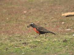 Long-tailed meadowlark hunting for grubs