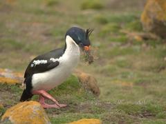 King cormorant gathering nesting materials
