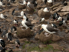 Rockhoppers, albatrosses and king cormorants living together in a single colony. They didn't seem to mind each other's company!