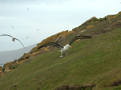 One of our favorite seabirds - the mighty black-browed albatross
