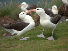 Albatross courtship display and ritual