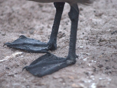 Detail of a Falkland skua's feet