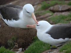 Not to be outdone, the black browed albatross have their own preening ritual