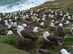 Thousands of black browed albatross call Saunders Island their home. We felt so lucky to be able to observe their behavior up close