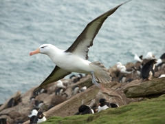 Albatross making a graceful landing near its colony