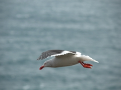Dolphin gull in flight