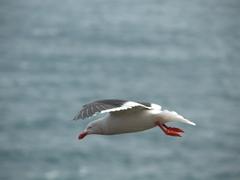 Dolphin gull in flight