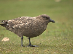 Falkland skua, an opportunistic predator looking for an easy meal