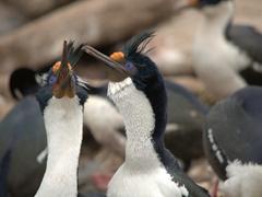 King cormorant mating dance ritual, an intricate affair