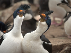 Imperial cormorants spend a lot of time bonding through a ritualized dance