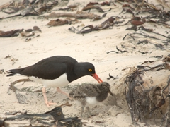 Pied oystercatcher with its chick