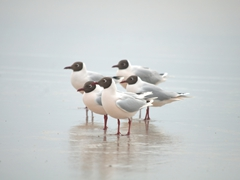 Brown hooded gulls