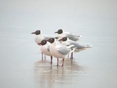 Brown hooded gulls