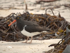An oystercatcher scrounging for food