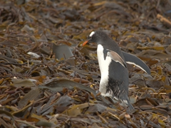 A gentoo penguin wades across kelp seaweed to return to its colony
