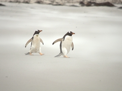 Two gentoo penguins battle a sand storm as they make their way to the sea