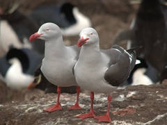 A pair of dolphin gull scavengers on the prowl for an unguarded egg at the penguin colony