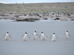 Hungry gentoos marching towards the sea