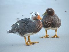 Falkland flightless steamer ducks