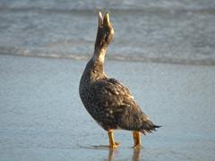 Falkland steamer duck vocalizing at sunrise