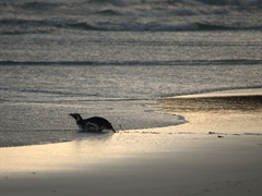 A magellanic penguin scurries into the sea on all fours