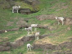 Grazing sheep keep an eye on us