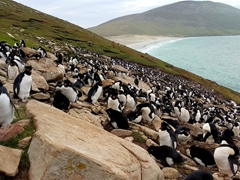 Just a 10 minute hike from the neck's cottage, we reach a southern rockhopper penguin colony