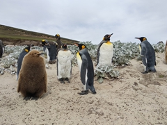 There is a small King penguin colony at the neck; Saunders Island