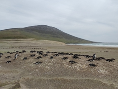 Gentoo penguin colony at the neck; Saunders Island