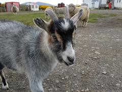 Friendly goat that thinks it is a dog