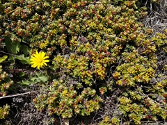 Diddle-dee berries, endemic to the Falklands