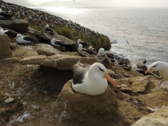 Observing the albatross colony, only a 5 minute walk from the rookery cabin