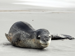 A leopard seal lounging on the beach at the neck! We have only seen them on ice-bergs