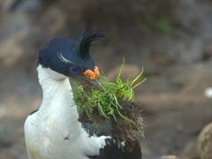 King cormorants spend early November gathering nesting materials