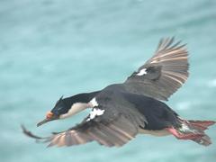 King cormorant in flight