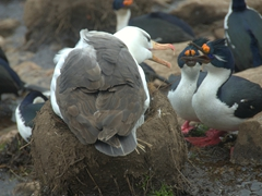 An annoyed albatross chastises its neighbors for being too loud