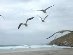 Dolphin gulls in flight