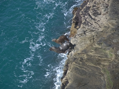 Sea lions jumping into the sea after sunning all day; the rookery